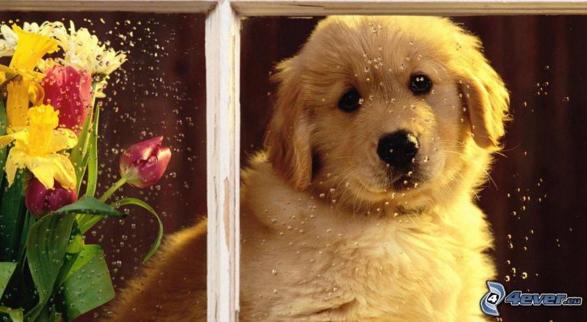 złoty retriewer, szczeniak, okno, kwiaty