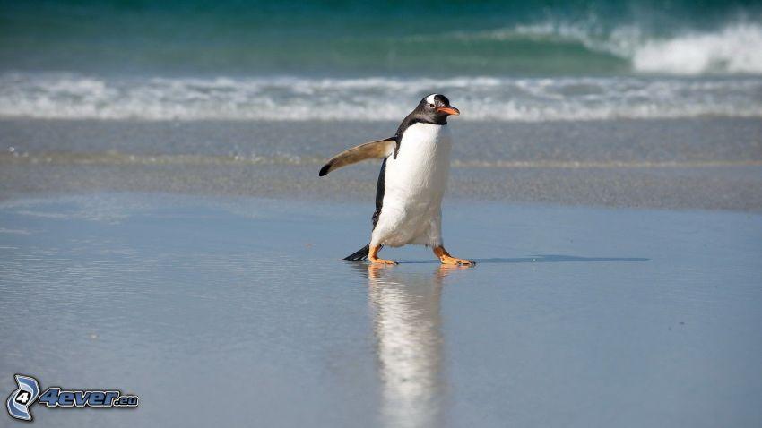 pingwin, morze