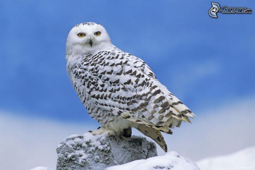 biała sowa, śnieg