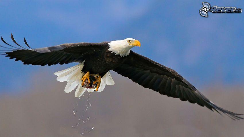Bielik amerykański, skrzydła, lot