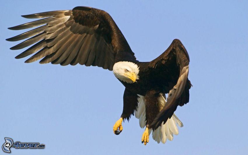 Bielik amerykański, skrzydła
