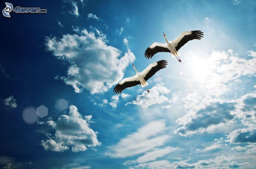 bociany, lot, skrzydła, chmury