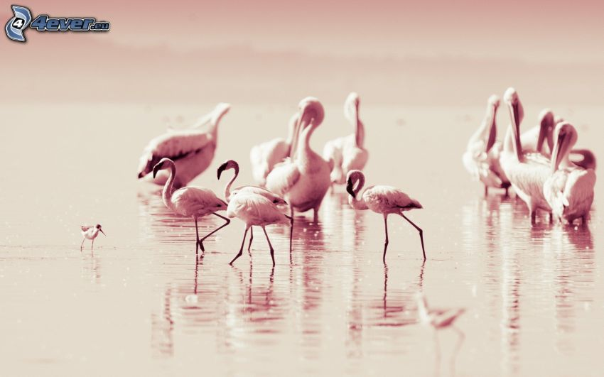 flamingi, jezioro