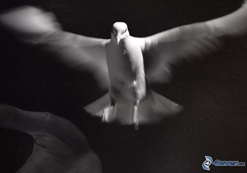 gołębica, skrzydła, czarno-białe, dłoń