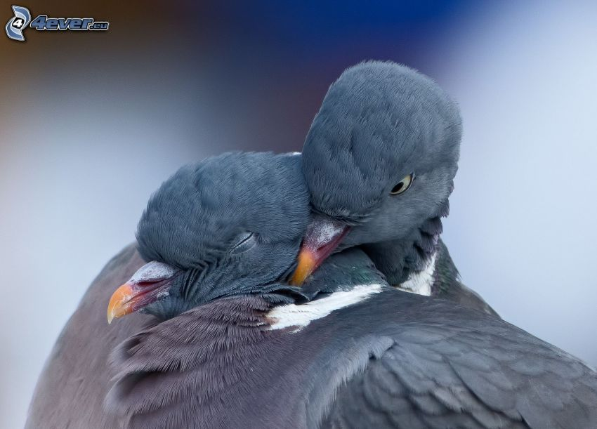 gołębie, objęcie