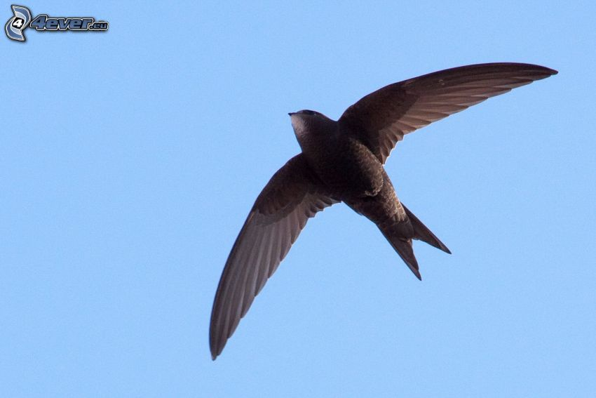 jaskółka, skrzydła, lot