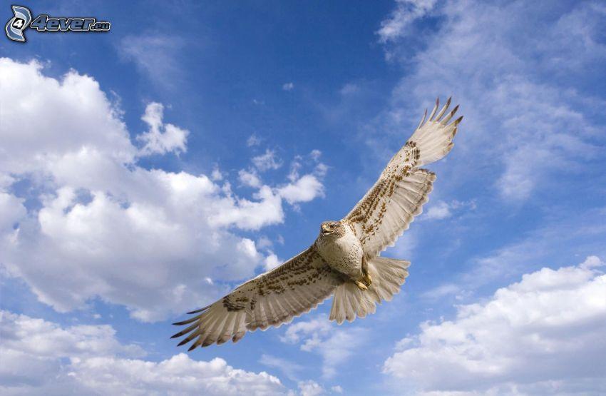 jastrząb, lot, skrzydła, chmury