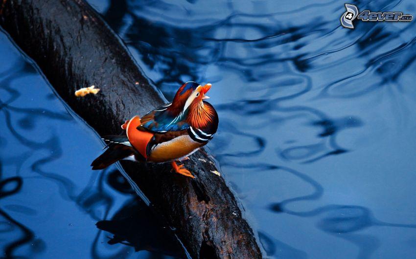 kaczka, drewno, woda