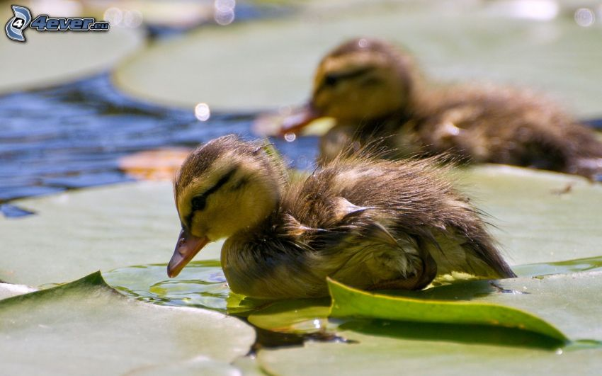 kaczuszki, lilie wodne