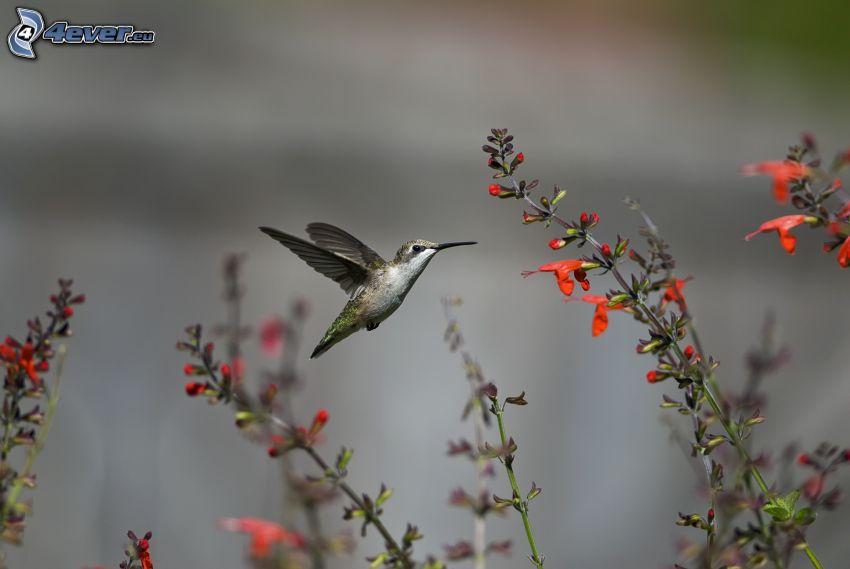 koliber, czerwone kwiaty