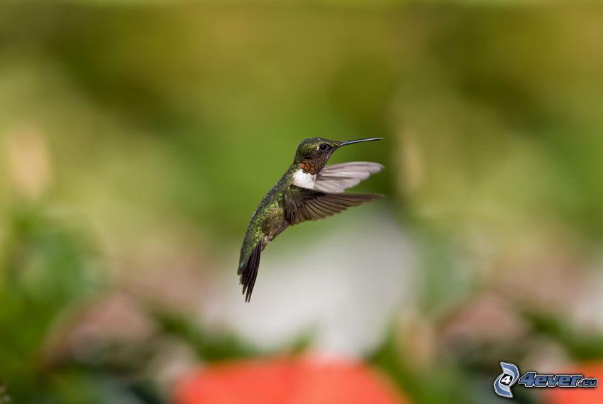 koliber, ptaszek