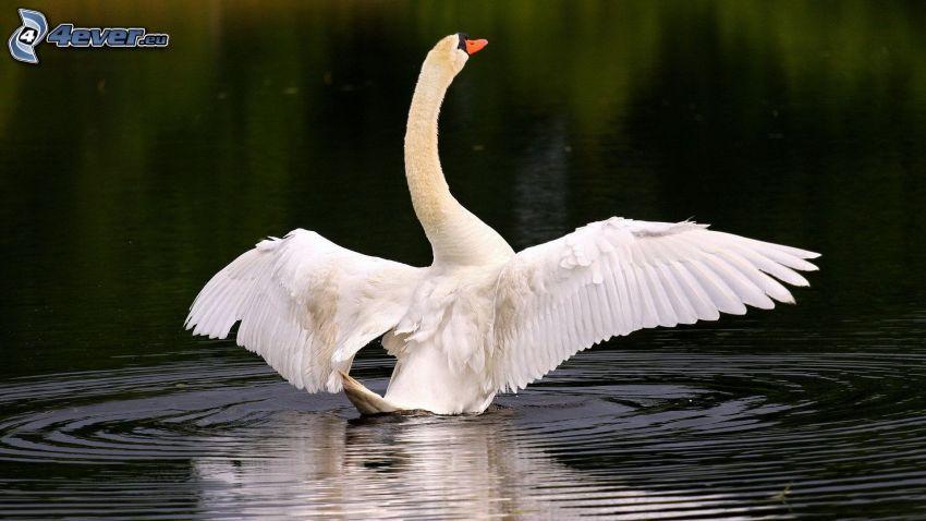 łabędź, skrzydła, woda
