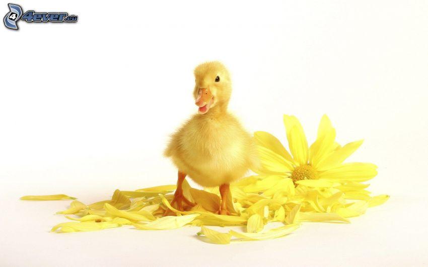 małe kaczątko, żółty kwiat, płatki