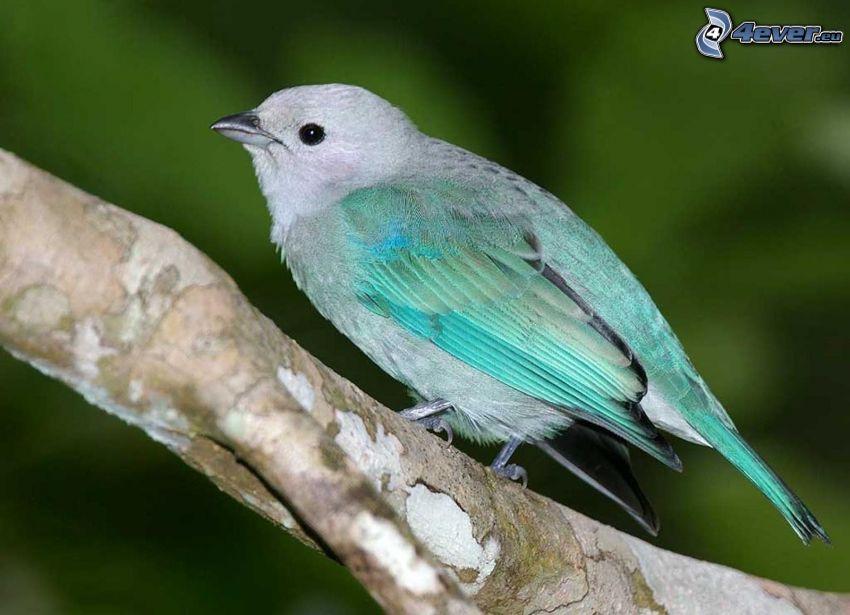 niebieski ptak, konar