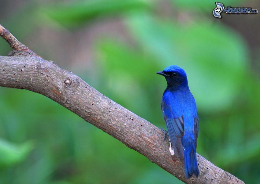 niebieski ptak na gałęzi