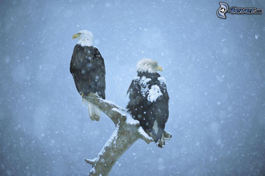 orły, drewno, śnieg