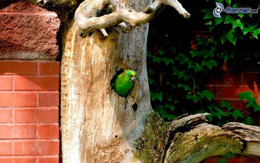 papuga, drzewo