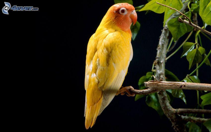 papuga, konar
