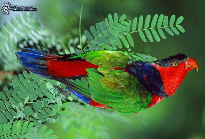 papuga, liście