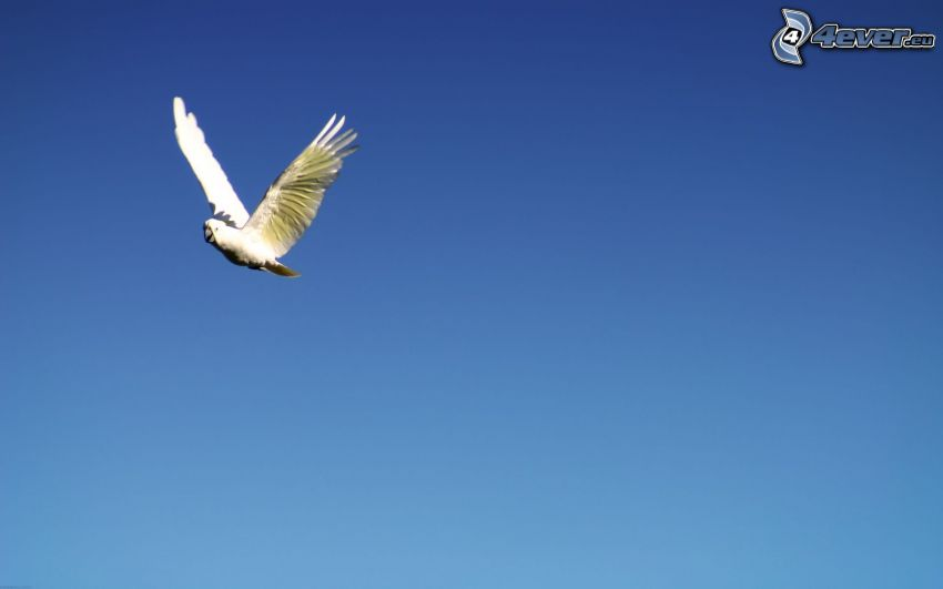 papuga, lot, niebieskie niebo