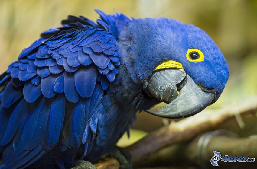 papuga, niebieski ptak