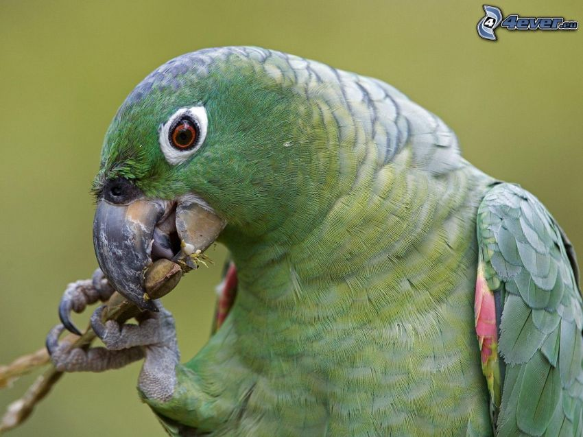 papuga, pokarm
