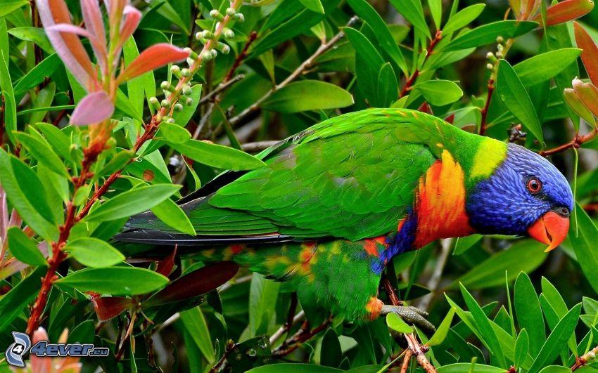 papuga, zielone liście