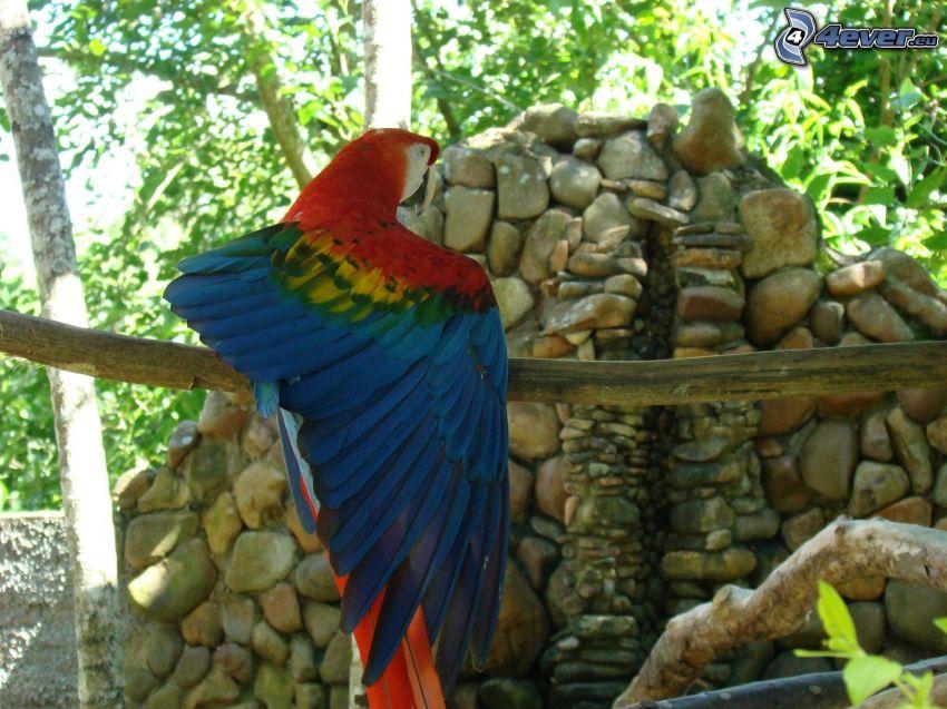 papuga Ara, skrzydło, mur z kamienia
