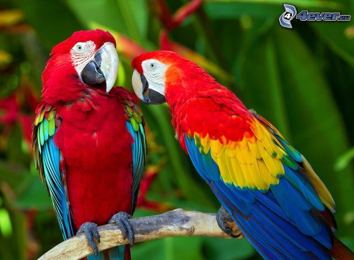 papugi, ary