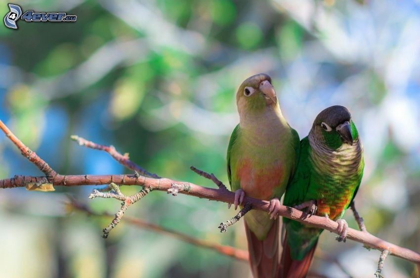 papugi, ptaszki na gałęzi