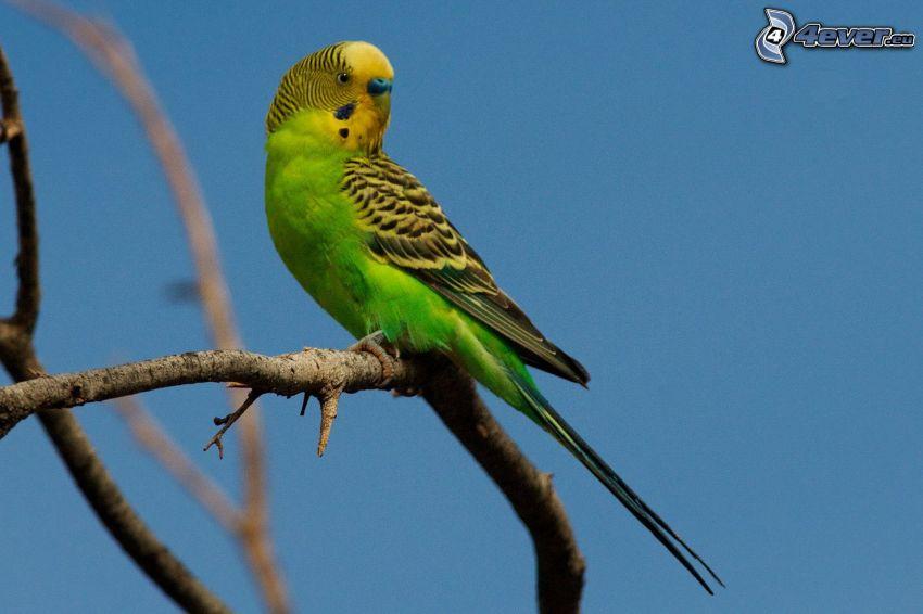 papużka falista, gałązka