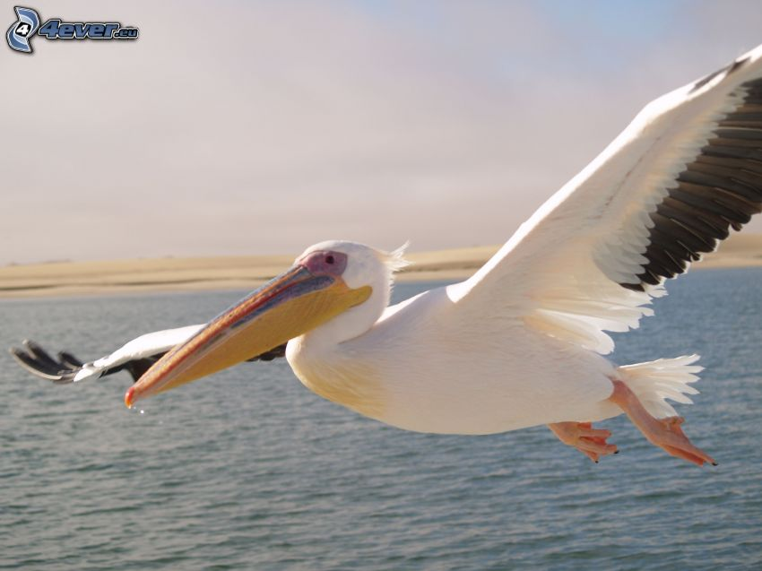 pelikan, lot, skrzydła, woda