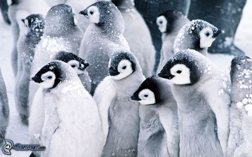 pingwiny, śnieg