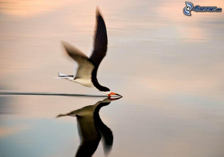 ptak, połów, woda, odbicie