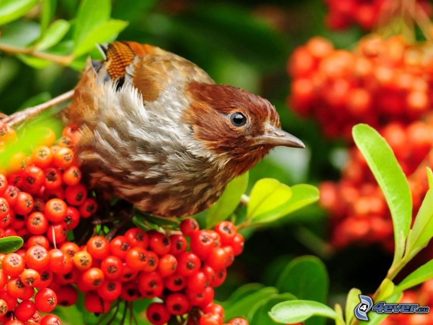 ptak, porzeczki