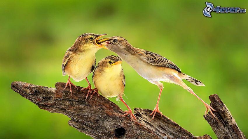ptaki, karmienie, drewno