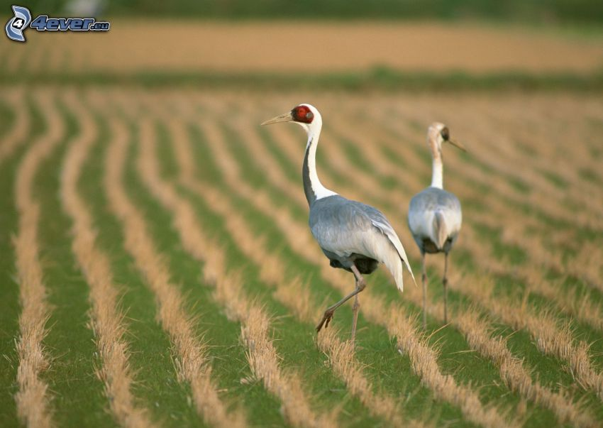 ptaki, pole