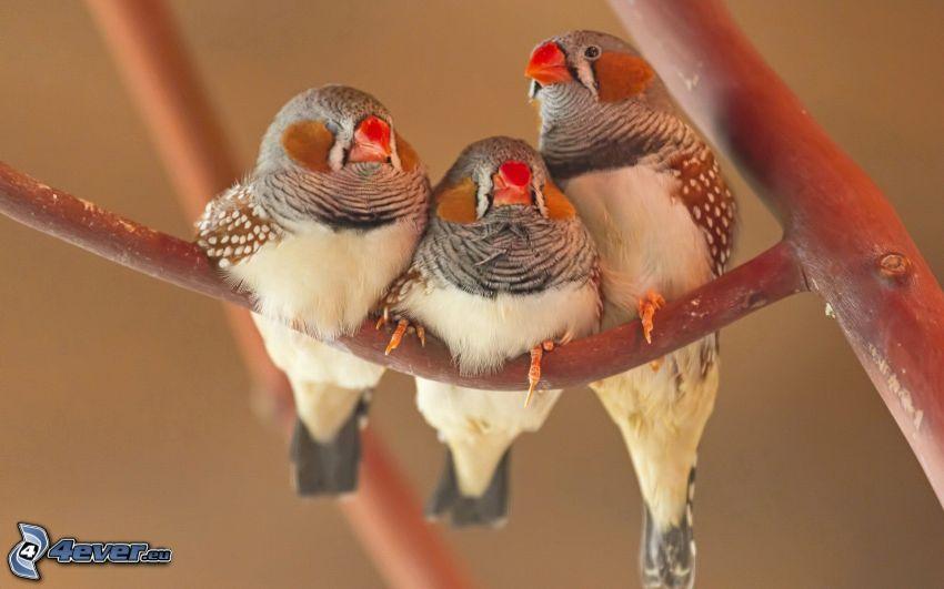 ptaki, ptaszki na gałęzi