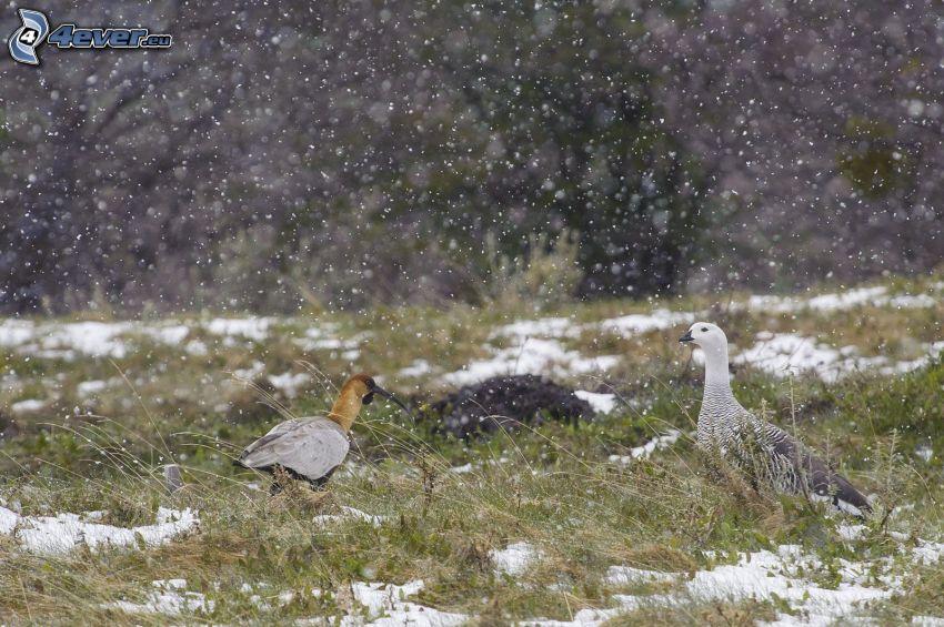 ptaki, śnieg, opady śniegu