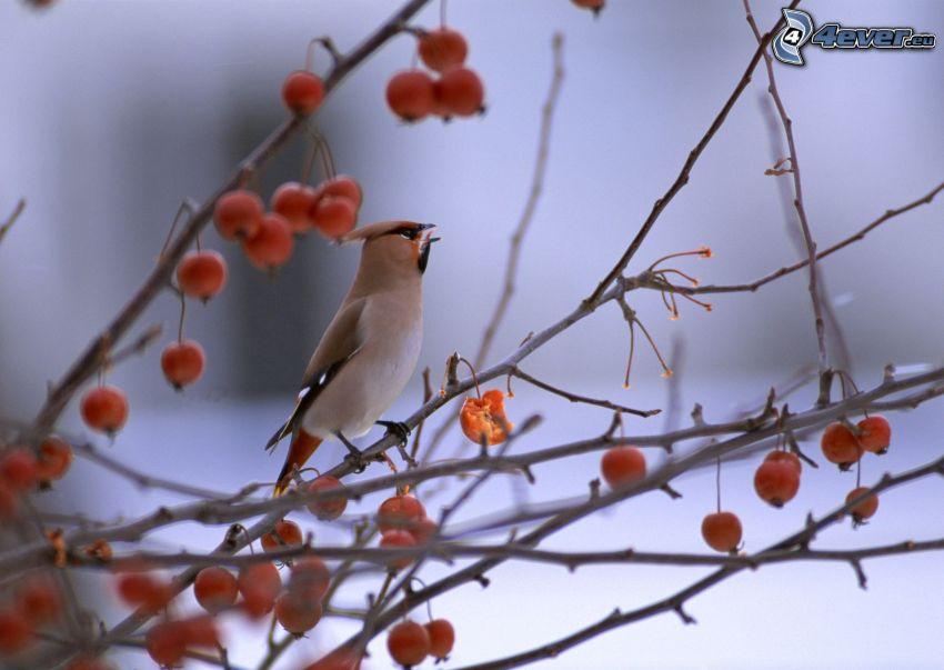 ptaszek na gałęzi, owoce