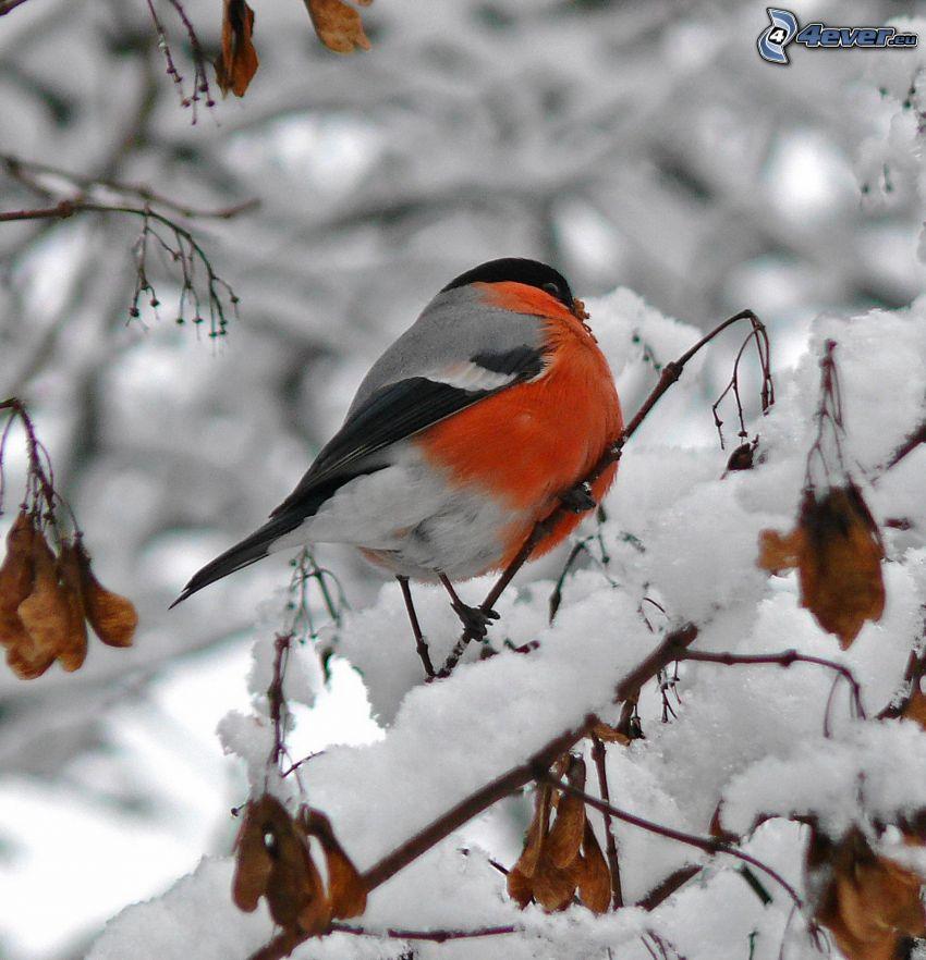 ptaszek na gałęzi, zaśnieżna gałąź