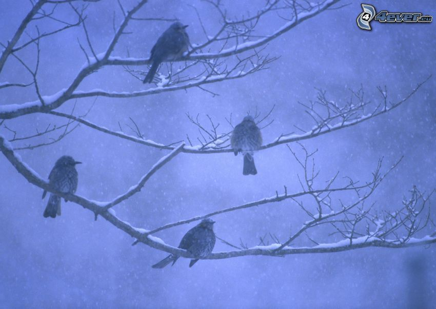 ptaszki na gałęzi, opady śniegu