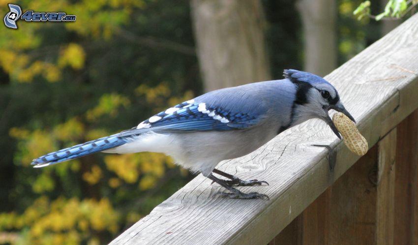 sójka, niebieski ptak