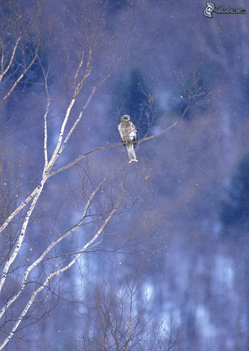 sokół, ptaszek na gałęzi, opady śniegu