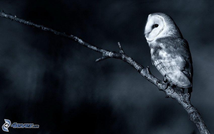 sowa, gałązka, czarno-białe zdjęcie