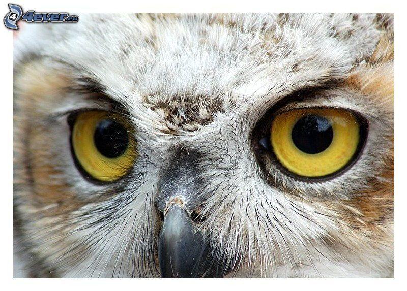 sowa, oczy