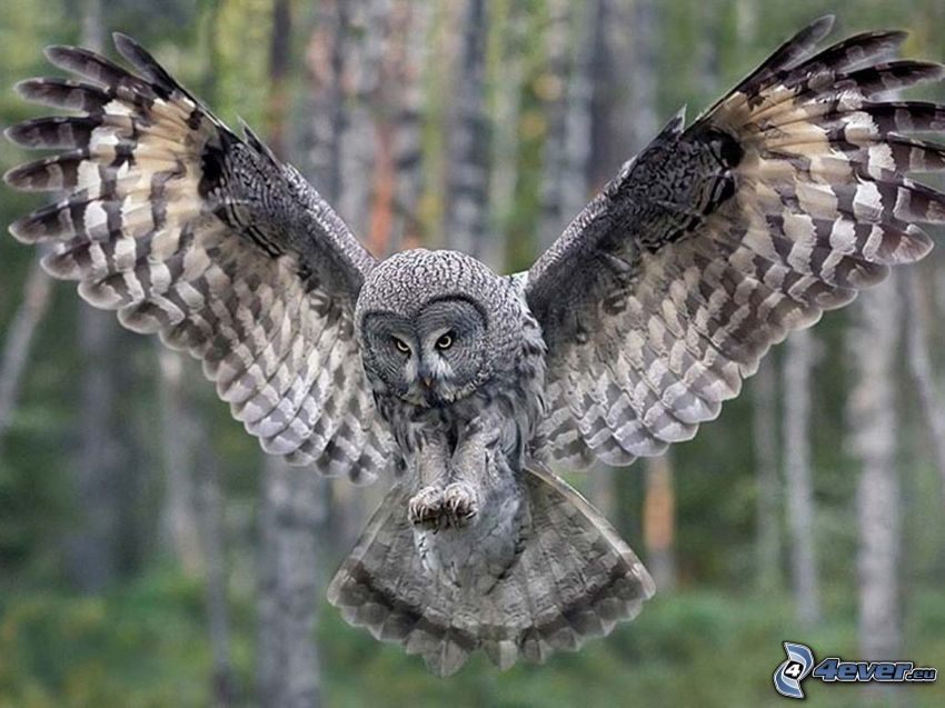 sowa, skrzydła, lądowanie