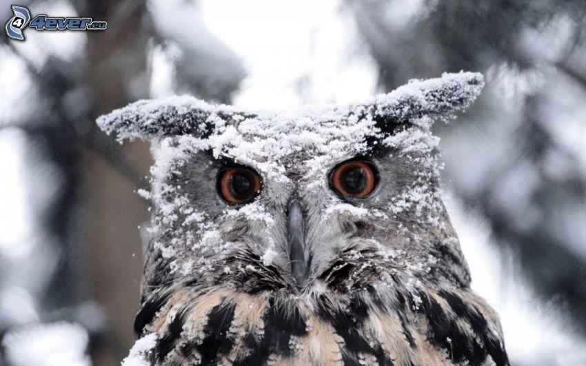 sowa, śnieg