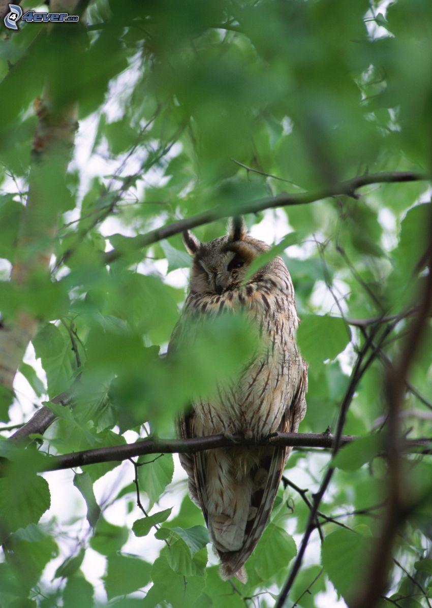 sowa uszata, drzewo
