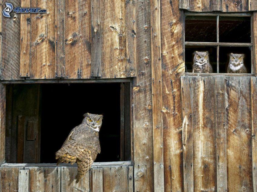 Sowy, sowa uszata, okna, drewniana ściana